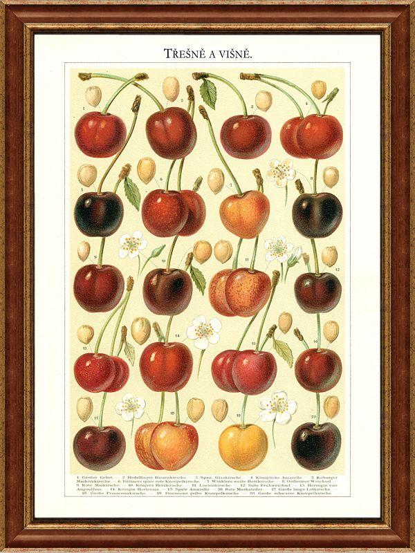 Třešně a višně na staré kresbě, včetně vyobrazení květů a pecek
