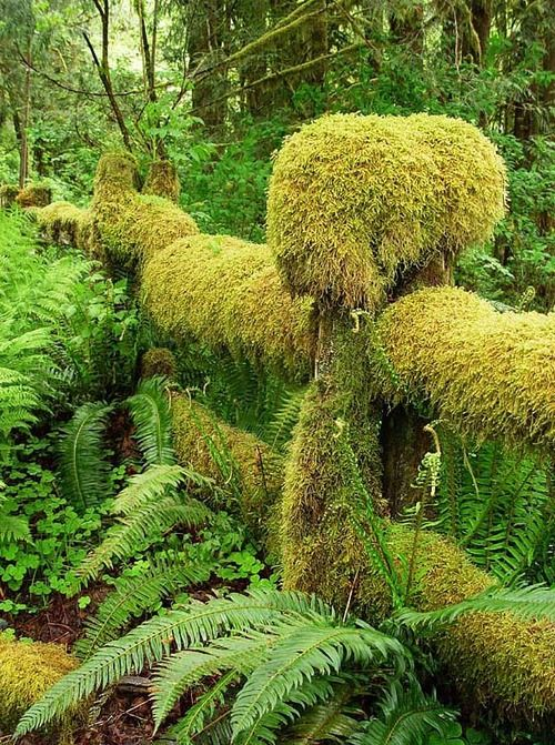 The mossy fence, Olympic National Park, USA (by Nina). - Tumblr
