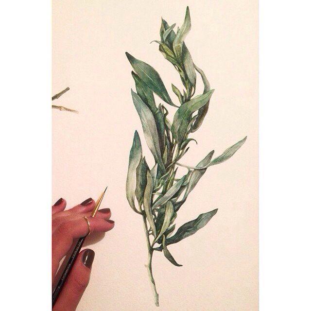 Tarragon  Watercolor