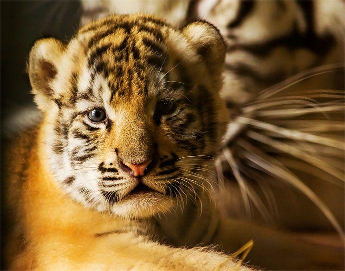 Las primeras fotos de los tres tigres de bengala que nacieron en el Zoológico de Cali   EL PAIS