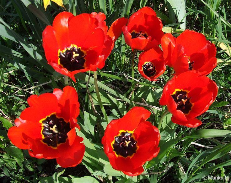 Tulppaani, tulip