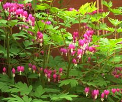 Bleeding Hearts - A cute little hanging heart shape flower. This plant is good for my shady space. I want to get one in dark red or purple.