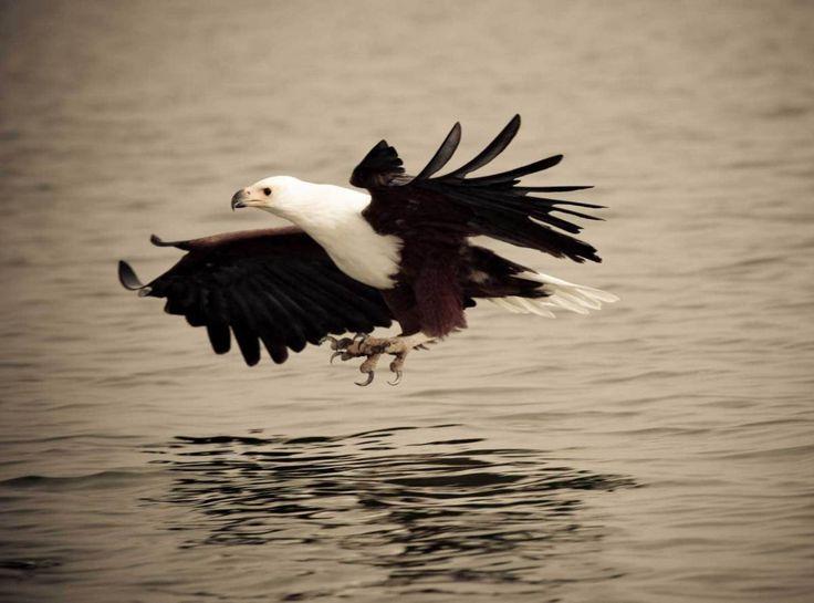 Swooping fish eagles at Lake Navaisha