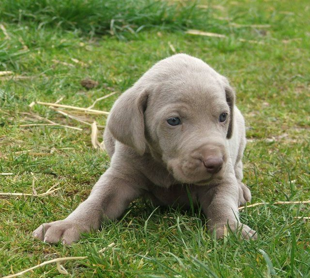 so cute: Dogs Breeds, Pet, Google Search, Dogs And Kids, Weimaraner Puppies, Training Tips, Around The Houses, Big Dogs, Dogs Clothing
