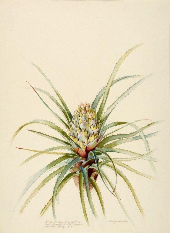 Margaret Mee, 1964-Streptocalyx longifloius Proc: Amazonas, Rio Uaupés, Uaupés. Dez. 1964