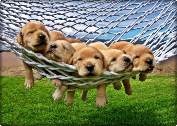 Yellow Labrador Retriever Puppies In a Hammock