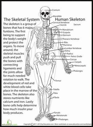 Fifth Grade Life Science Worksheets: Human Skeletal System Worksheet