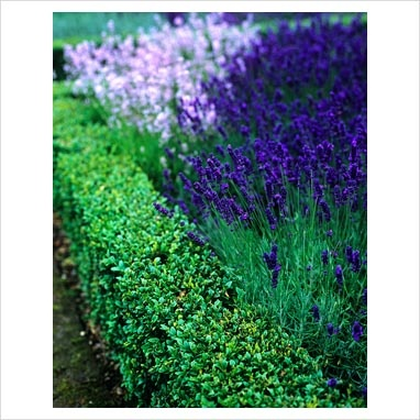 Buxus hedge edge with lavender for the front garden
