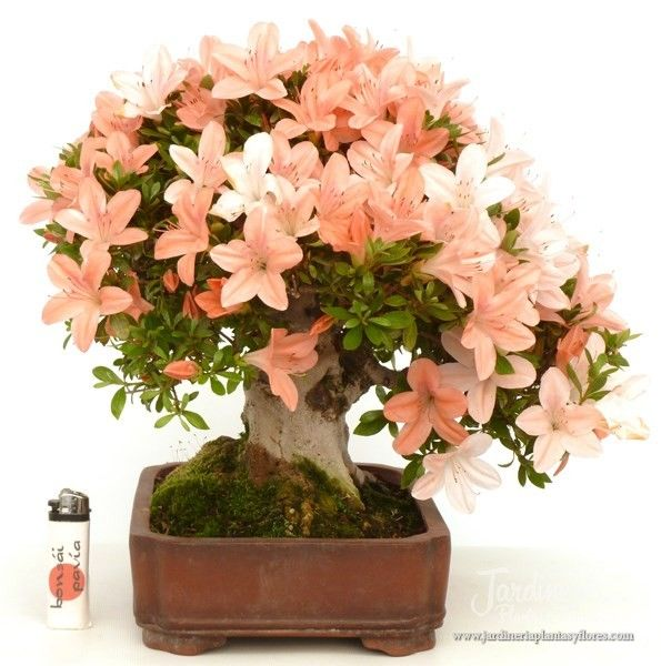 17 best ideas about azalea color on azalea