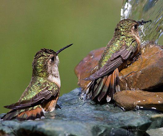 Hummingbirds love fresh water!               Tony Markle, Featured Photographer.