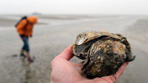 Wissen, Pazifische Auster, Meeresbiologie, Sylt, Wattenmeer, Artensterben, Tier