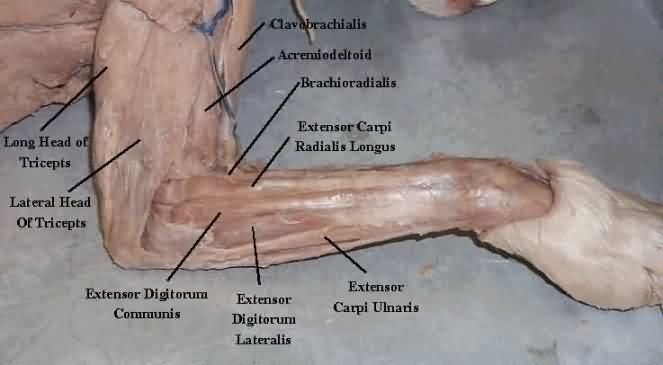 Which Of The Nerves Serves The Cat S Forearm Extensor Muscles