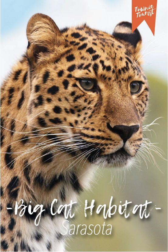 Big Cat Habitat in Sarasota, Florida Big cat habitat