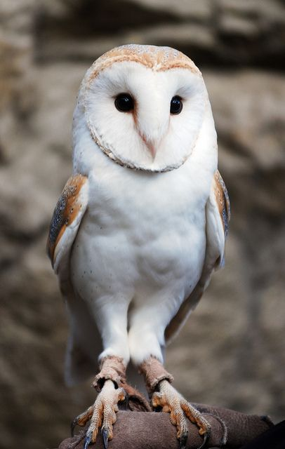 Barn Owl. I see these guys every night