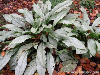 Ogrodnictwo od A do Z : Miodunka (Pulmonaria) 'Diana Clare' (Rośliny w obi...