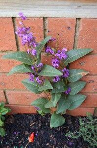 Hardenbergia violacea 'False Sarsaparilla or Happy Wanderer'  Australian native climber or groundcover