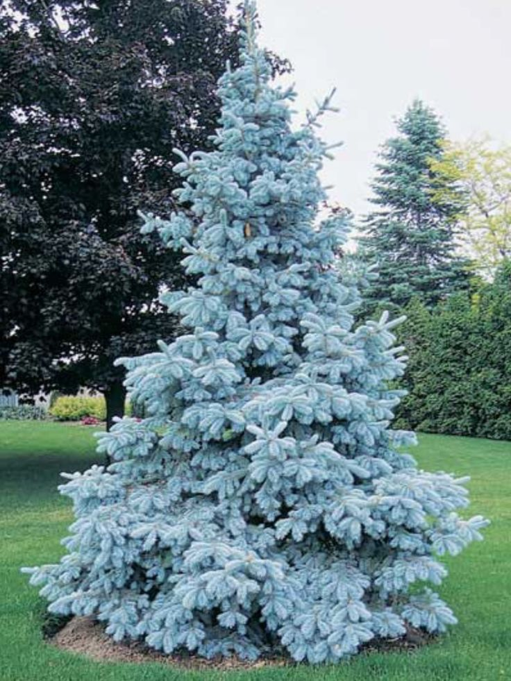 59 Best Evergreens For Tight Spaces Images On Pinterest 400 x 300