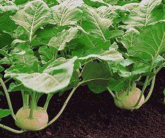 Kohlrabi anbauen: Tipps für eine gute Ernte