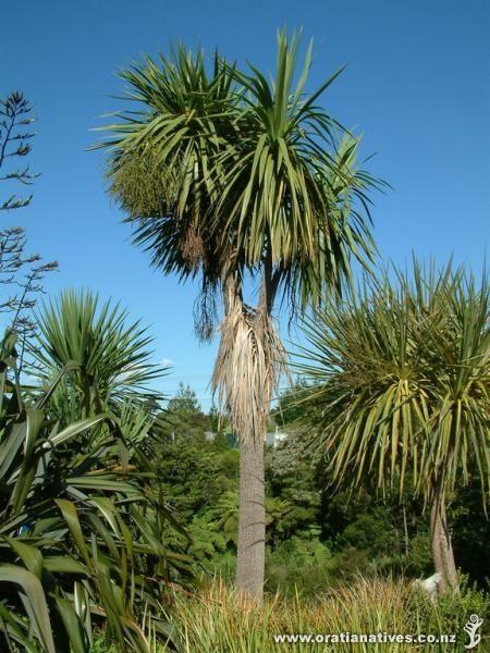 Cordyline australis - Ti kouka - cabbage tree: 8-12m, cork-like bark. Exposed, sun-semi-shade, all levels of moisture but prefers damp.