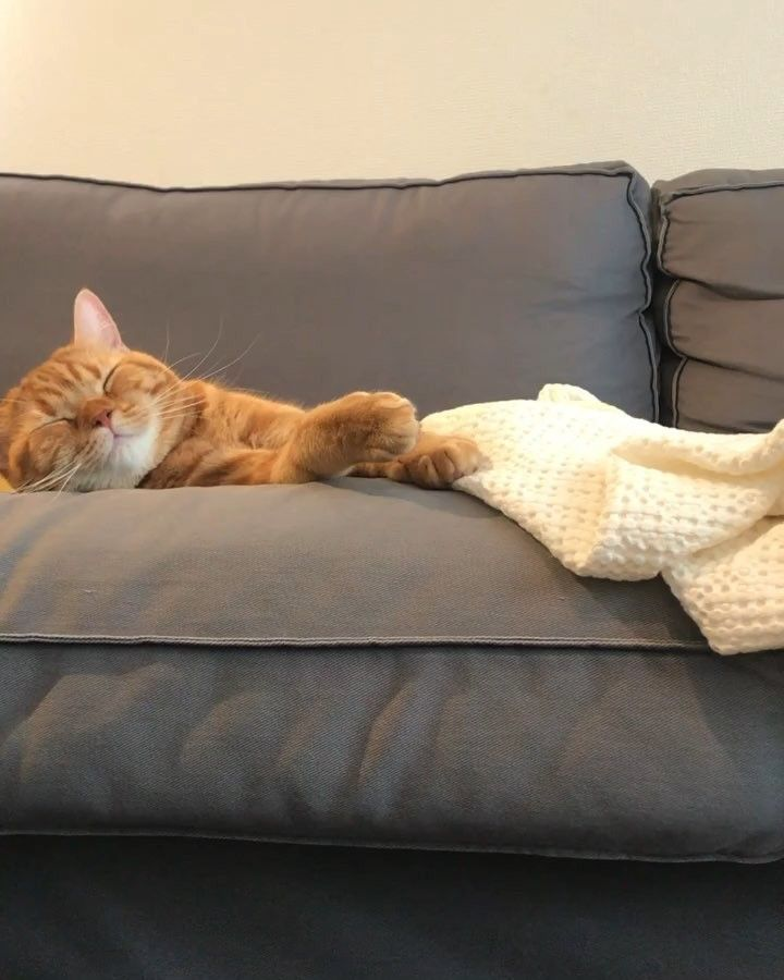着地の声かわいい モハメド モハメドボーイ スコティッシュフォールド スコ Scottishfold ネコ Cat Kitten 立ち耳スコ ねこ ペコねこ部 ねこ部 立ち耳スコティッシュ レッドタビー Animal Instacat Pleasantcats ねこ ネコ ペット