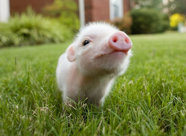 Tiny baby pig. Doesn't get much more adorable than this.
