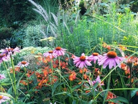 Echinacea purpurea 'Magnus' mingles with a self-seeded Crocosmia.