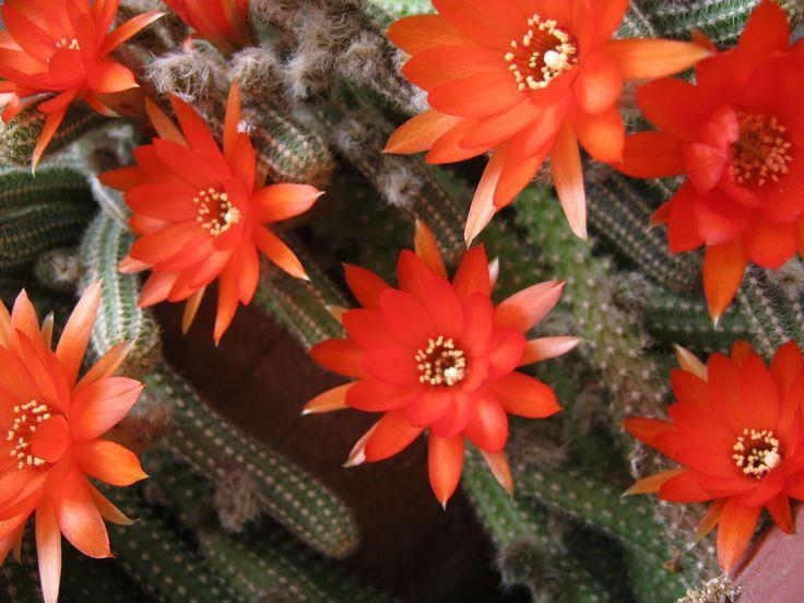 CACTUS 10pcs CACTI RED JEWEL SOUTHWESTERN HANGING RATTAIL porch garden #Cactus