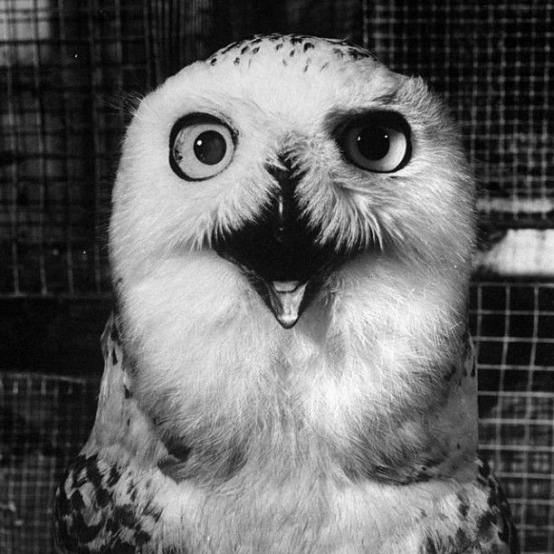 Happiest looking owl, ever? A barn owl poses for LIFE's Peter Stackpole in 1960. (Peter Stackpole—Time  Life Pictures/Getty Images)