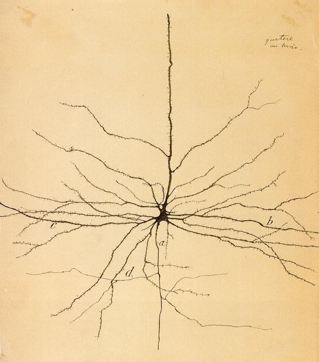 Dibujo de neurona de Santiago Ramón y Cajal: Brain Cell, Cajal 1852 1934,  Phalangium Opilio,  Daddy Longlegs, Neurons Drawings, Santiago Ramones, Cajal Neurons, Santiago Ramón, Pyramid Neurons