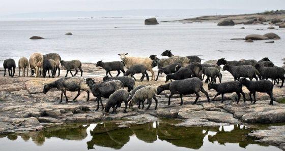 Liki 40 lammasta kuljetettiin laivalla Pyhtään Ristisaareen hoitamaan uhanalaista maisemaa. Kuva: Juha Metso / HS -- Lue juttu: Lampaat pääsivät saareen kesätöihin