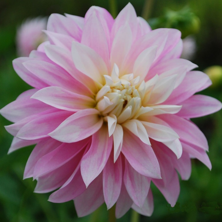 Dahlia 'Alloway Candy' - pack of 3 tubers - Rose Cottage Plants