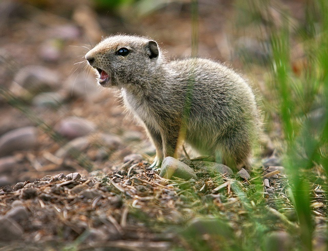 75 Best Fauna Radical Rodents Images On Pinterest