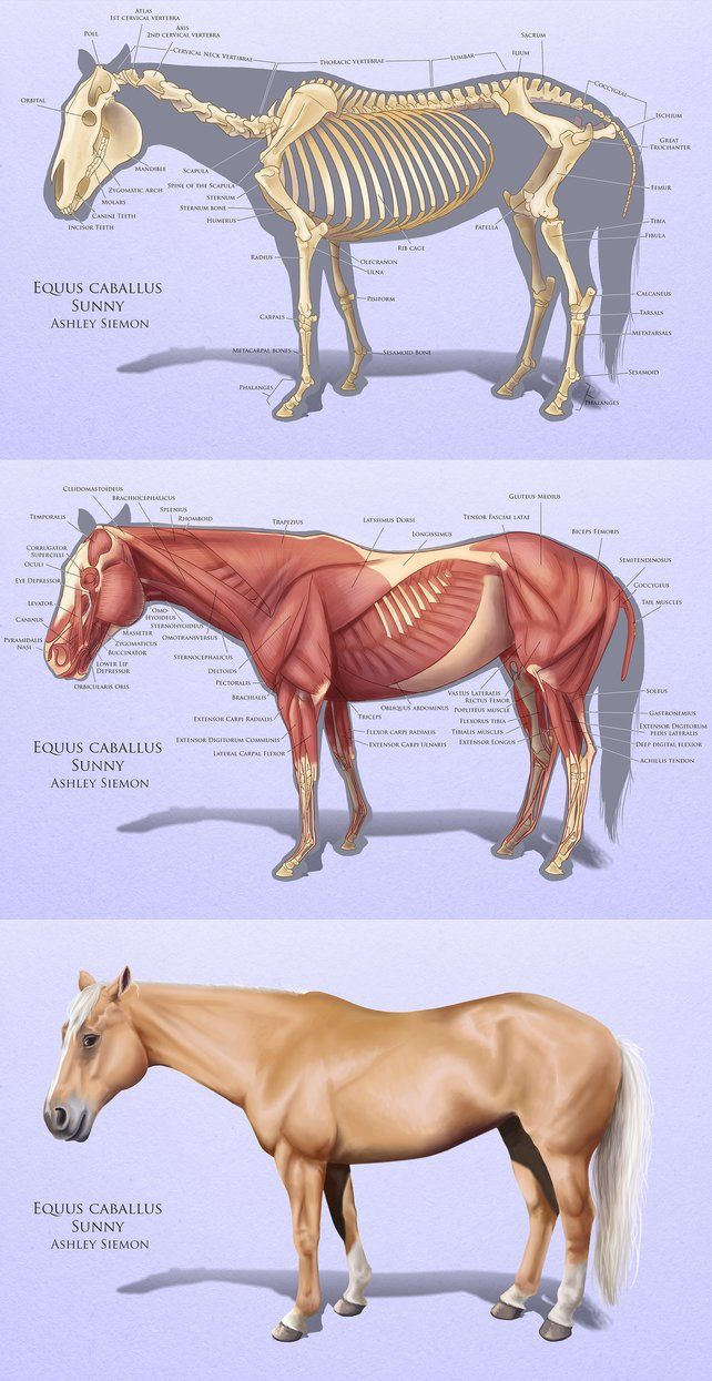 Horse Anatomy Study by Crickatoo