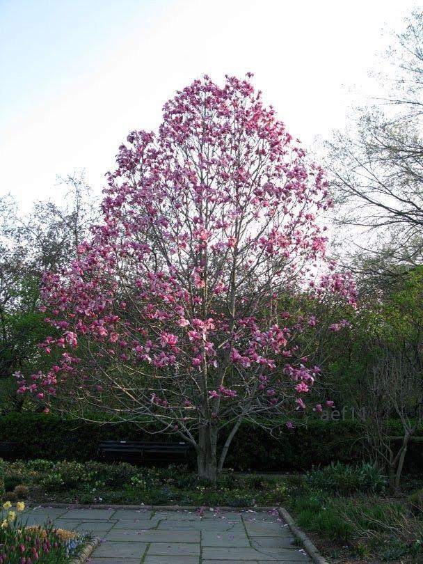 Magnolia Galaxy Galaxy Magnolia Magnolia Trees Magnolia Galaxy Best Shade Trees