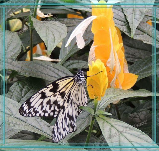 Mémoires Visuelles: Leuconé sur Fleurs http://evasionqc.blogspot.ca/2013/03/leucone-sur-fleurs.html
