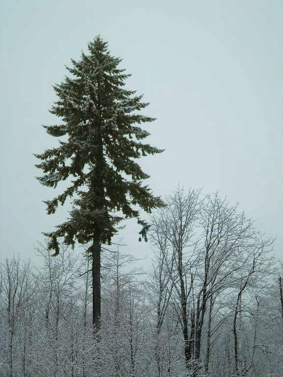 9 best douglas fir tree old growth named big doug for Ponderosa pine tattoo