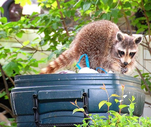 Homemade Racoon Repellent.... with cheyan pepper, hot sauce, dish soap in spray bottle