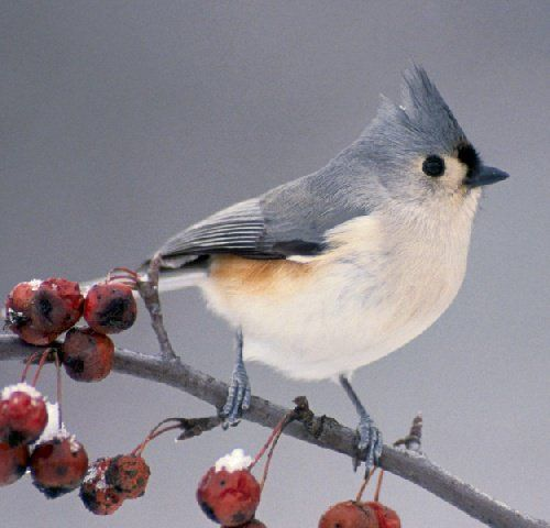 titmouse - plant native species trees & bushes to guarantee birds have plenty to eat