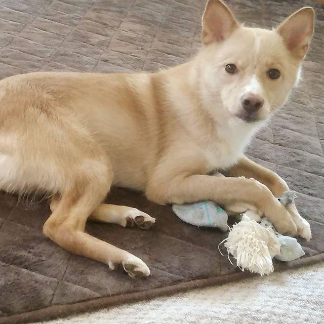 #スマホ壊れた ので久しぶりの投稿。 #琵琶くん おとなしいと思ったら、靴下かじられてる。 かじるロープに隠して持ってるとこ、知恵者だな…  #かわいい #愛犬 #おとなしい #賢い #優しい #雑種犬 #中型犬 #元保護犬 #夏毛 #犬との暮らし #癒し犬 #dog