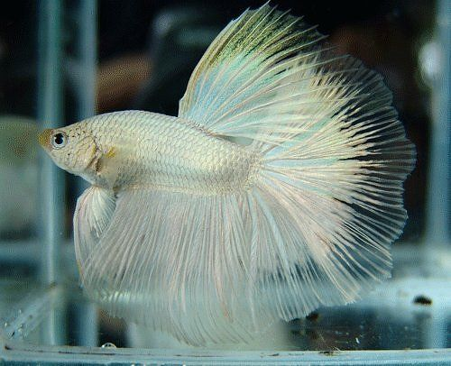 539 best images about visse betta tropies vars water on for Beta fish water