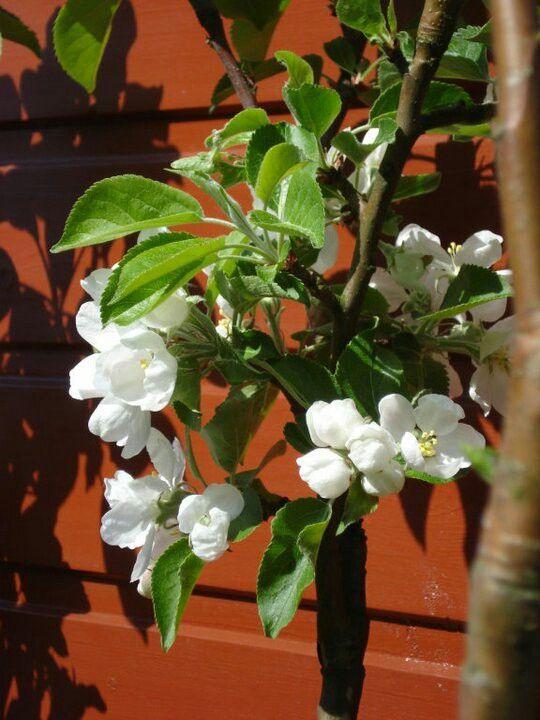 Æbletræ i vores have
