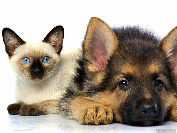 GSD Puppy & kitty
