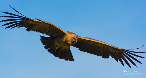 https://www.facebook.com/KapSography  With Wings Wide Open  Athol Bay, Sydney, New South Wales, Australia.  Clicked this bird with massive wings while taking a walk with a few friends around Athol Bay. The sky was really clear and the motion shot came out ok. Do you know which bird is this?