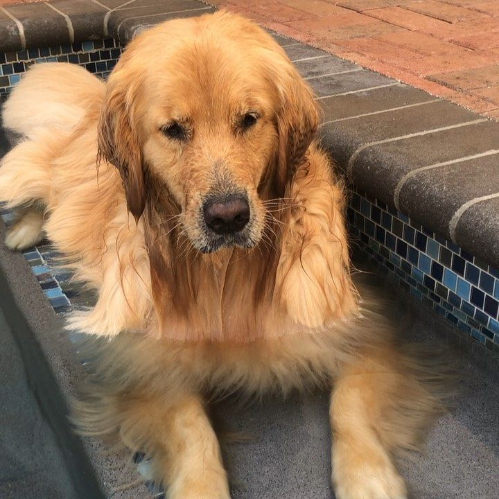 Maddox On Instagram Sound For Bubble Blowing Deliciousness Goldenretriever Lakewoodgoldens Bubbleblowingc Golden Retriever Water Dog Puppies