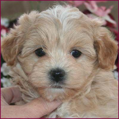 this is the CUTEsT maltipoo i have ever seen... totes next