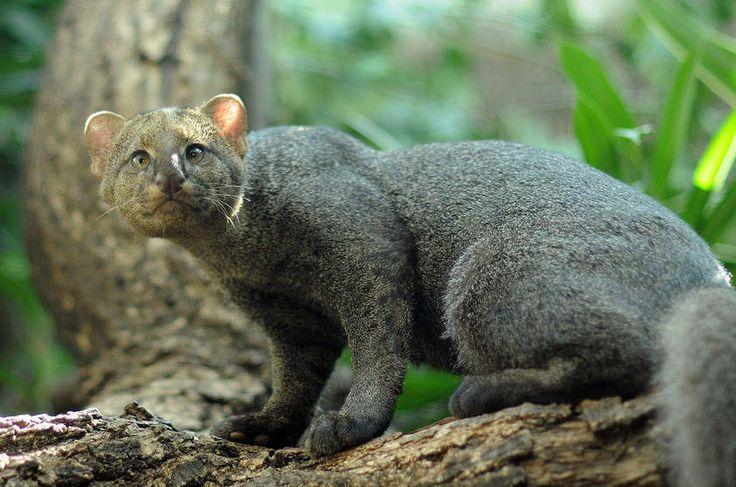 Gato-mourisco (Puma yagouaroundi)  Com corpo alongado e pernas curtas, o gato-mourisco, também conhecido como jaguarundi, parece mais um mustelídeo (família das lontras) do que um felino em suas proporções. Encontrado nas Américas, apresenta três pelagens diferentes: preta, principalmente em florestas, e cinza ou vermelha em áreas mais abertas, como o Pantanal e o Cerrado.