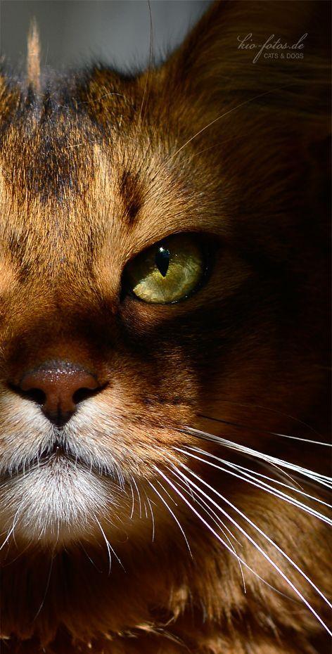 Gatinho dourado com cara de invocado