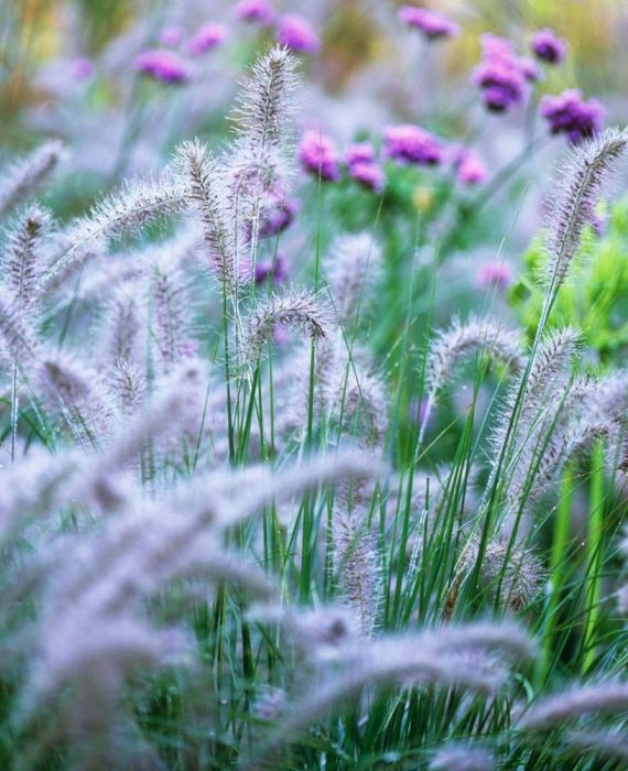 Pennisetum alopecuroides Hameln (dwarf fountain grass) - Gardener's a World Oct'16