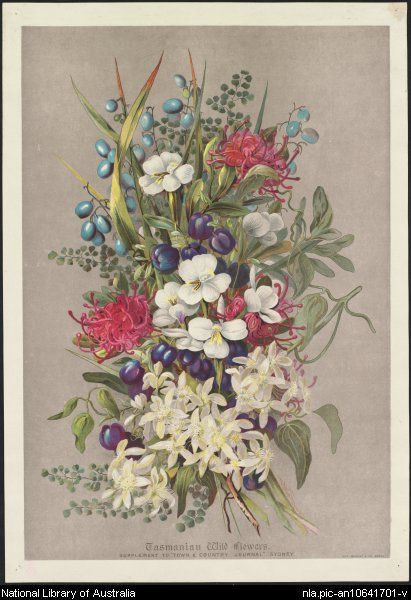 Rowan, Ellis, 1848-1922. Tasmanian wild flowers for Town & Country Journal, [188-?] (Sydney : Geo. Murray & Co.). nla.pic-an10641701