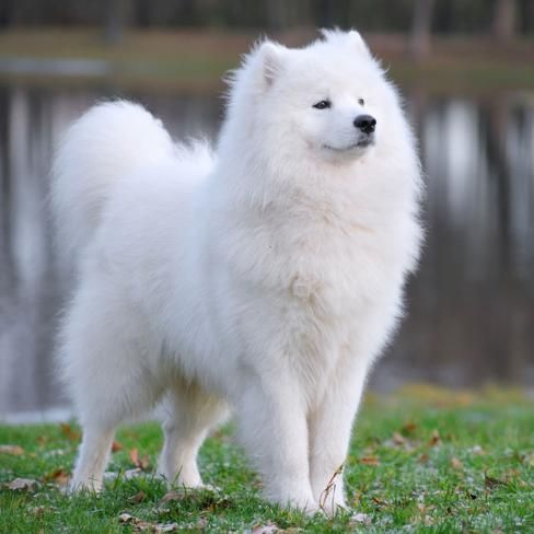 I have been wanting to know what kind of dog this was for like.. forever!!! Now I know. And now I also know that I am never getting one because my mom would never pay that much money for a dog in her life time :)